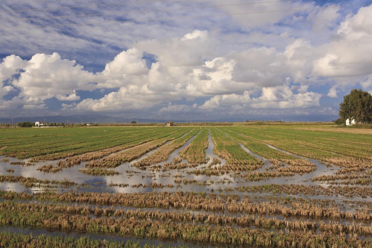 Arrossars segats al Delta de l'Ebre / Mariano Cebolla